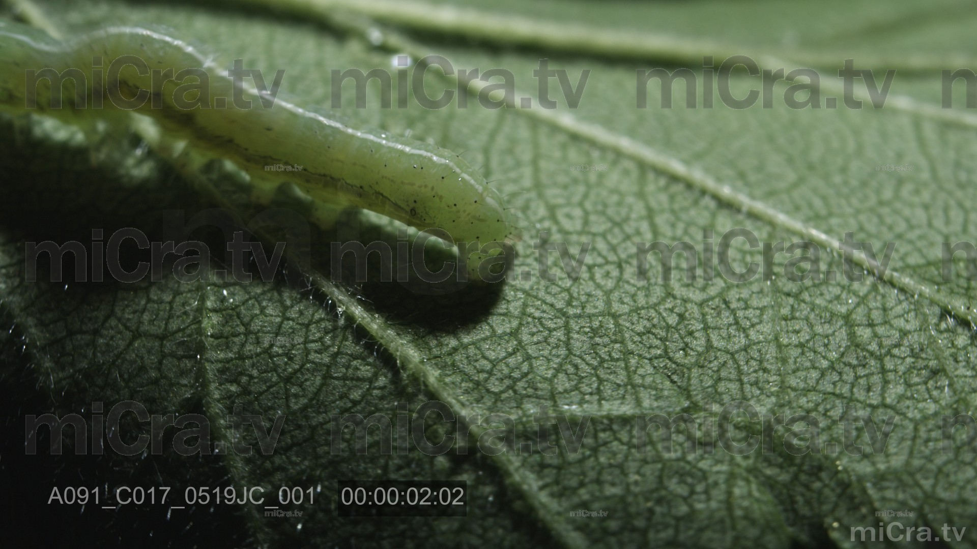 Green caterpillar 3